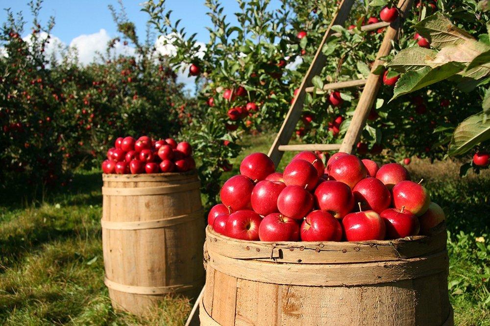 apples on barrel