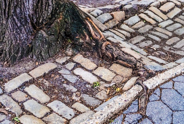Overgrown tree roots on pavement
